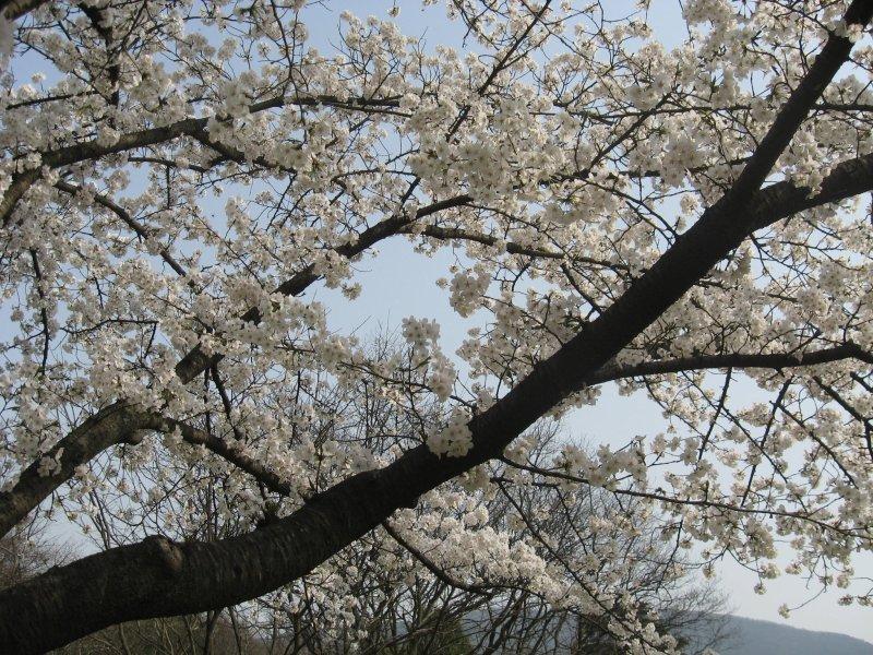 cherry blossoms purple mountain